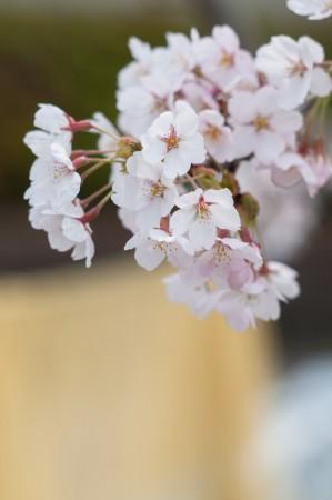 春散歩撮影